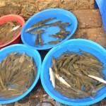 7 tigris fish