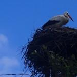 4 Stork