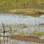 11 Kartong Collins bird reserve