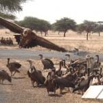 1 amongst vultures