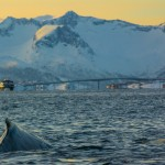 Humpback whale & Bridge to Sommaroy