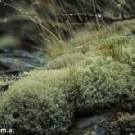 macro ofnorthern moss